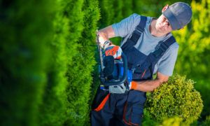 Man Trimming Hedges